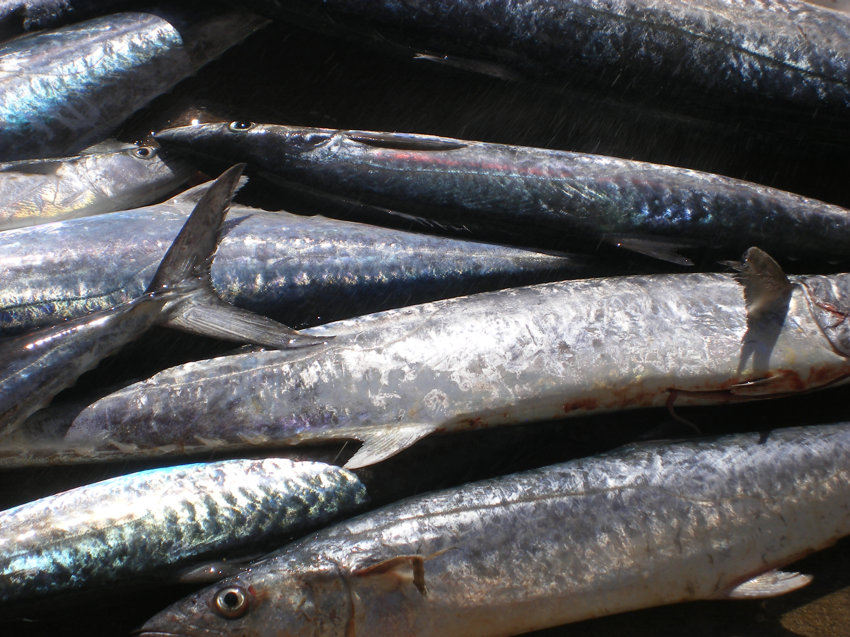 Mackerel and Kingfish Pile