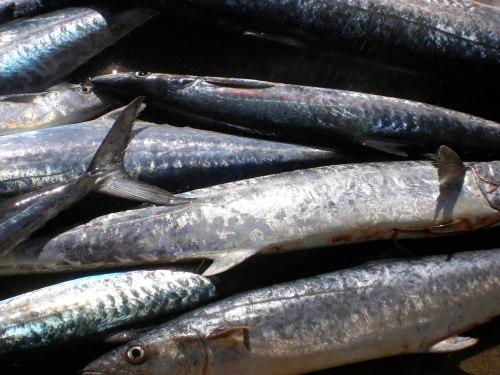 Mackerel and Kingfish Pile